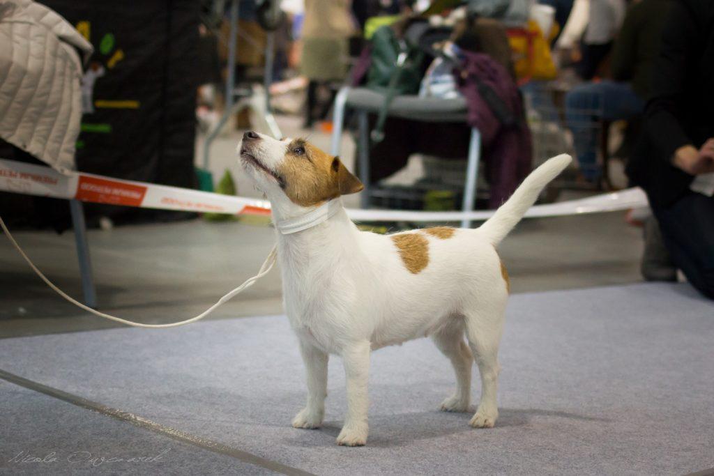 hodowla jack russell terrier